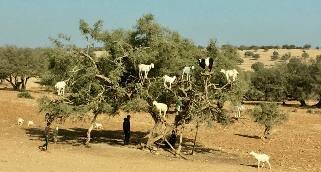 8 goats in an argan tree
