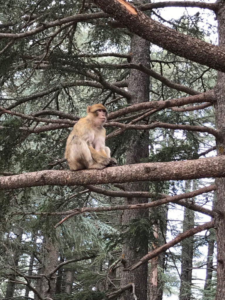 Middle Atlas Mountains monkeys