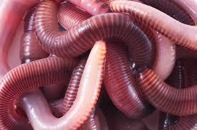 Dew Worm
