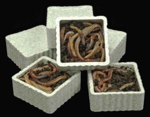Live Bait HLS Dew Worms