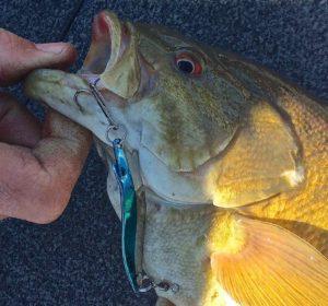 Johnson SlimFish Smallmouth Bass The Niagara River April 18th 2016 Water Temps 44 degrees FFFF