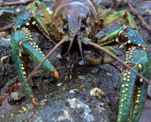 Fairy Lake Crayfish March 2017AAA