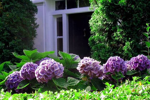 vintage-landscaping-with-hydrangeas-with-purple-color-hidrangea-for-vintage-exterior