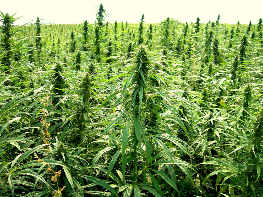 Growing Hemp Can Be Profitable