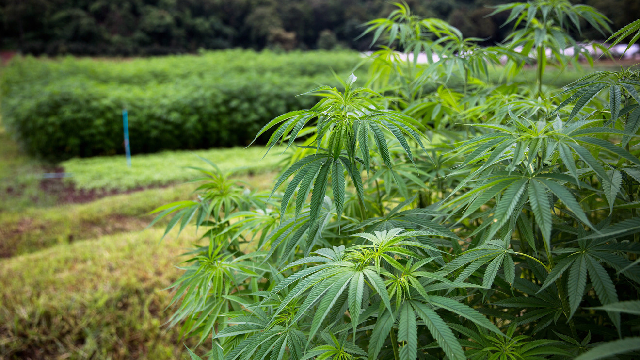 Hemp Growing Can Be Scaled For Optimal Profits