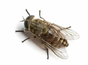 How to Control Stable and Houseflies?