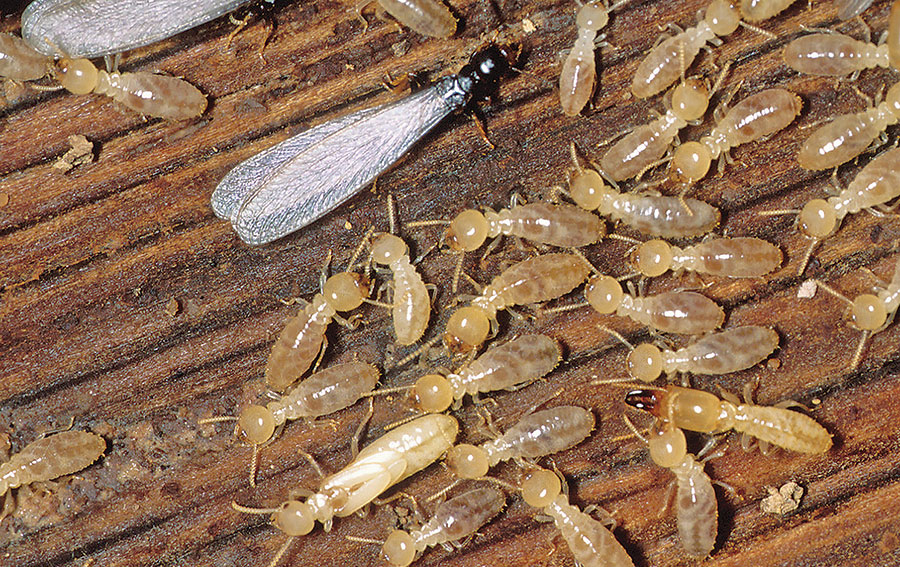 Bugs or Termite Infestation