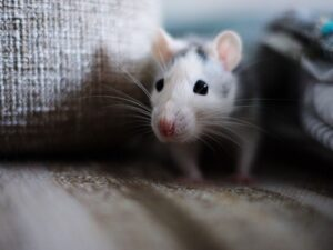 Signs of Rodents? How to Tell If Your Home Has a Pest Problem