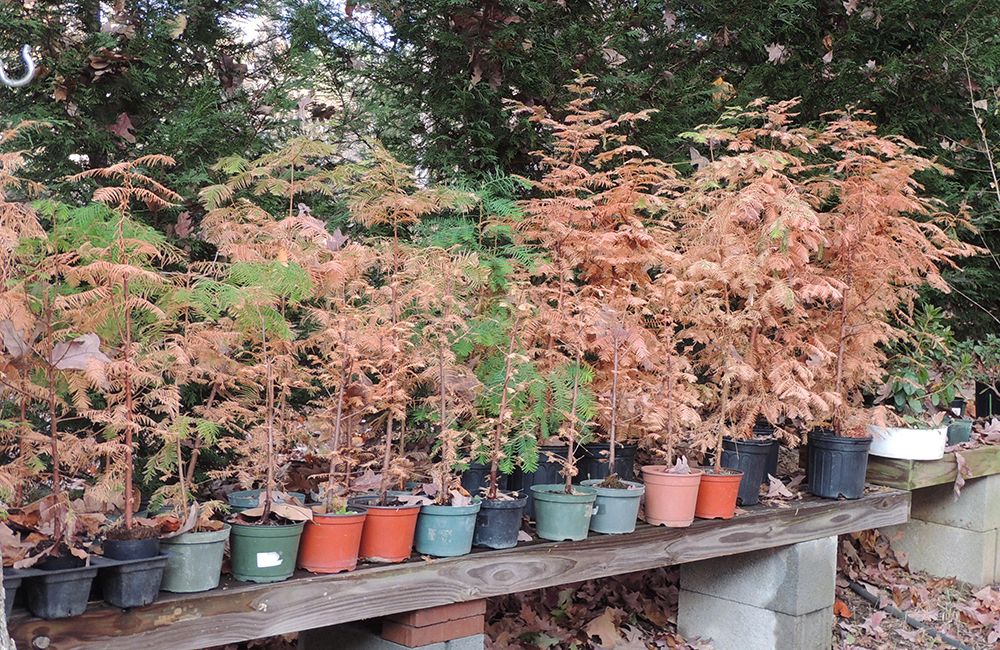 Dawn Redwood in Fall Color
