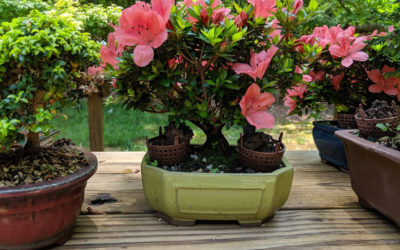 Hinoki, Azalea and Boxwood Tree Bonsai Workshop