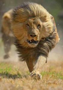 LionRunning