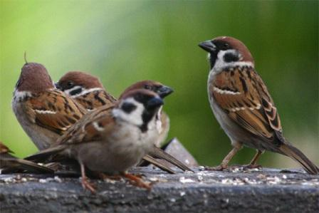 Missing: chirping of sparrows in balcony