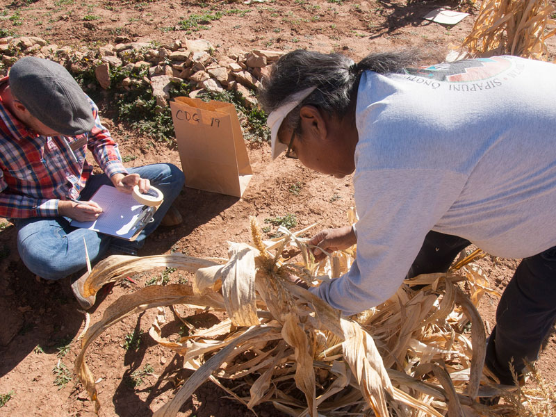 At work with the Pueblo Farming Project: Kyle and Hopi collaborators harvest corn during the 2016 season.