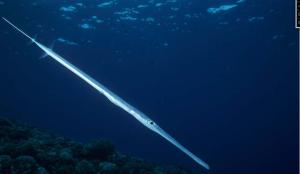 Pesci invasori nel Mediterraneo Pesce Flauto - Fistularia commersonii