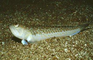 Pesci pericolosi nel Mediterraneo-Tracina- Trachinidae
