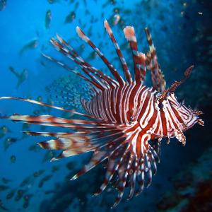 Pesci pericolosi nel Mediterraneo - Pesce scorpione - Pterois volitans