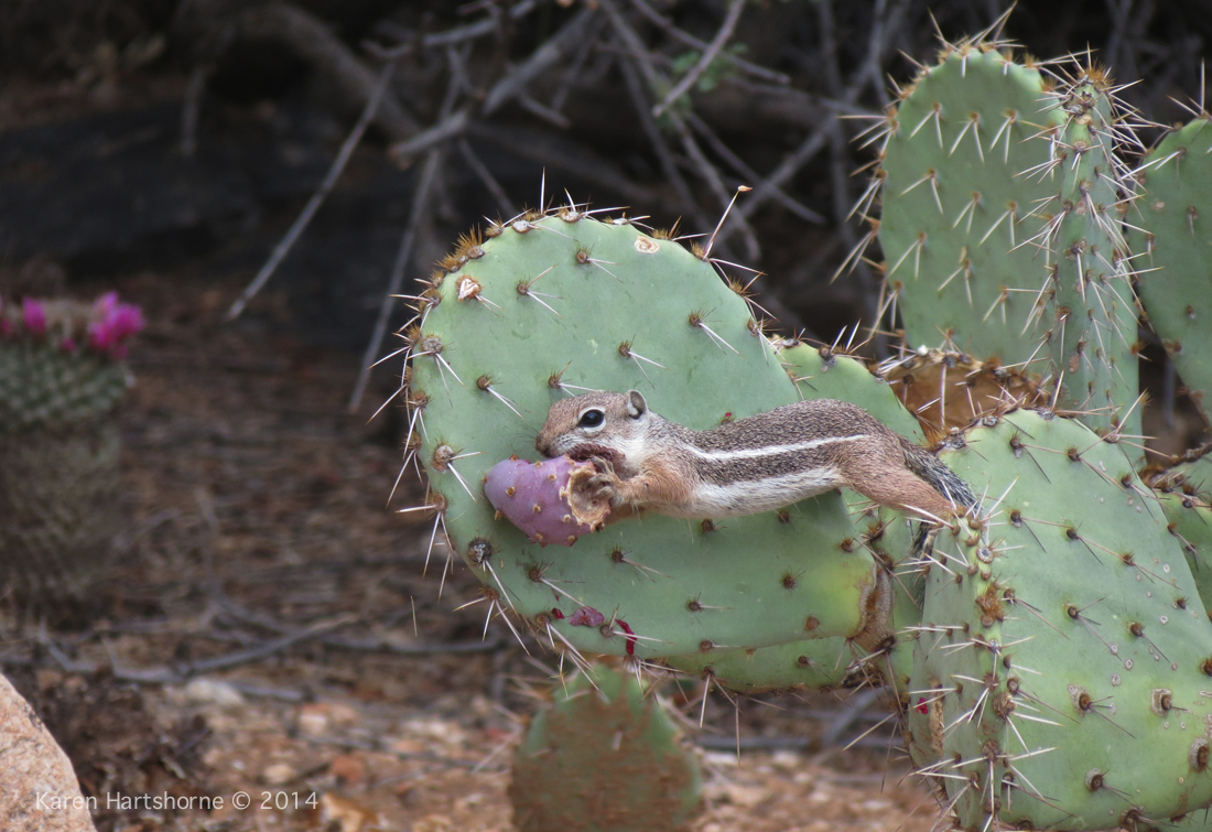 Harris Squirrel Gets the Prickly Pear Apple