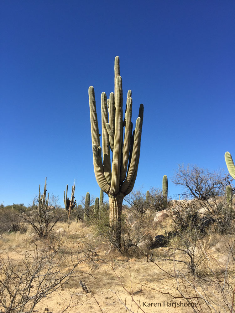 The Perfect Saguaro Cactus
