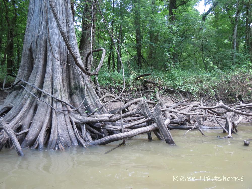Cypress knees in the Atachafalaya, Louisiana