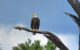 Bald Eagle in Cape Coral