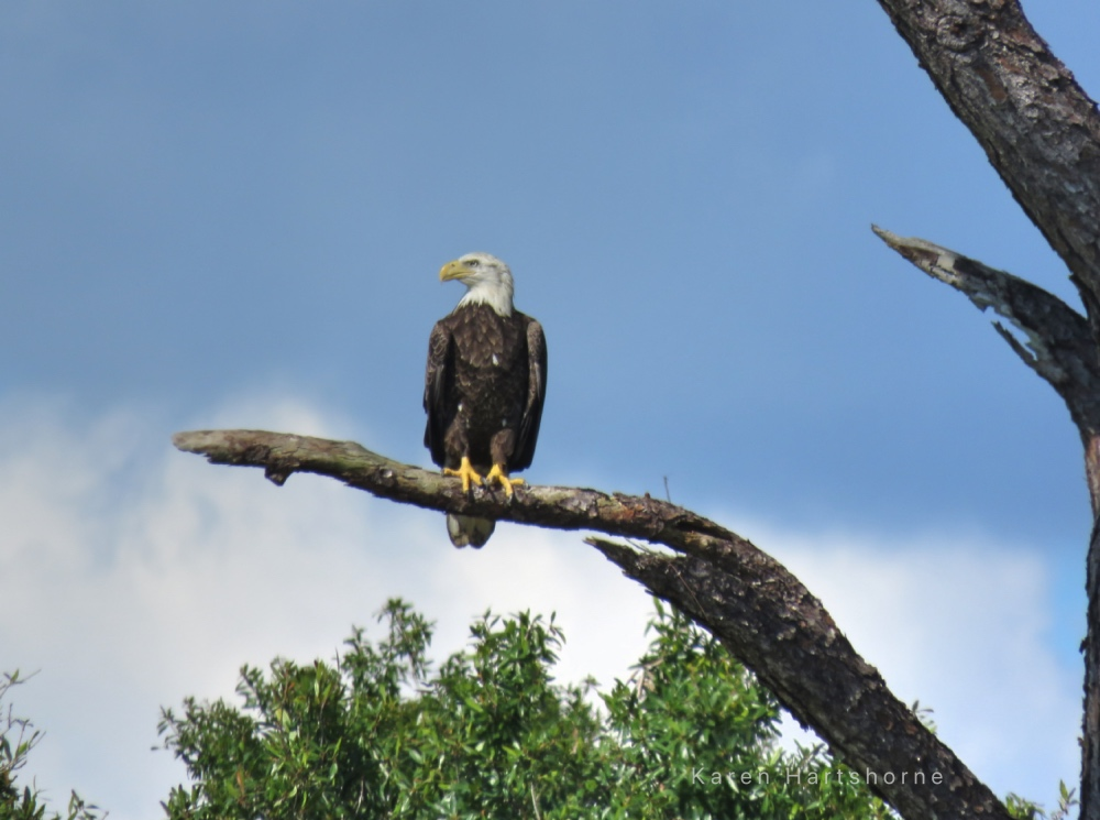 Bald Eagle on Coral Oaks Golf Course in Cape Coral, Florida