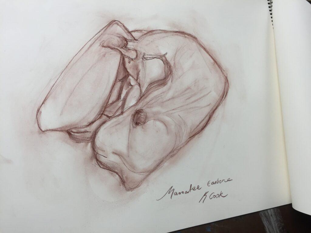 Manatee Ear Bone Sketch in Conti