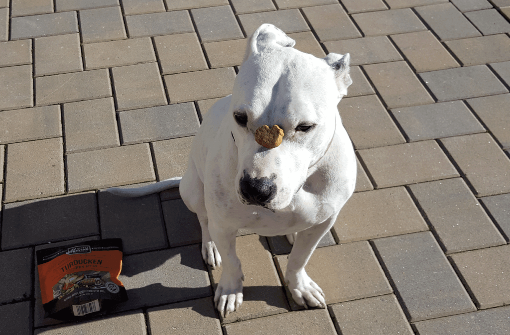pit bull trained