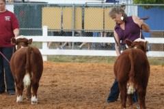 Smokey-valley-farms-bull-calves-1