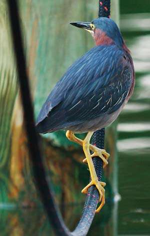 tern on dock rope