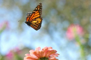 monarch-ROSE DAISY