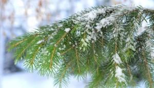 Christmas-Tree-Branch_604