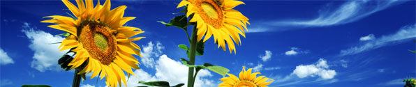 blue-sky-sunflowers-bnr