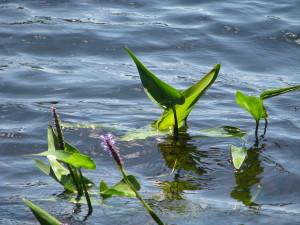 001 Water Flowers - Breakneck Pond CT - July 2008