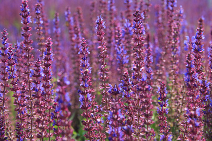 hyaluronic acid serum ingredients - Lavender open in the spring