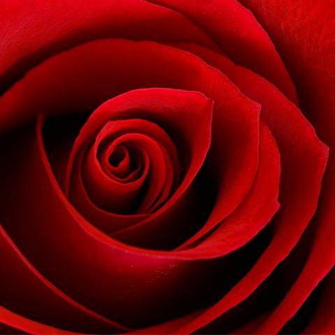 rose petals in caviar serum
