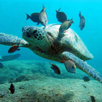 Green sea turtle cleaning station