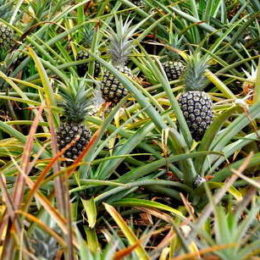 Pineapples in the field at Dole Pineapple Plantation