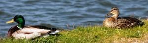 ducks at waterfront