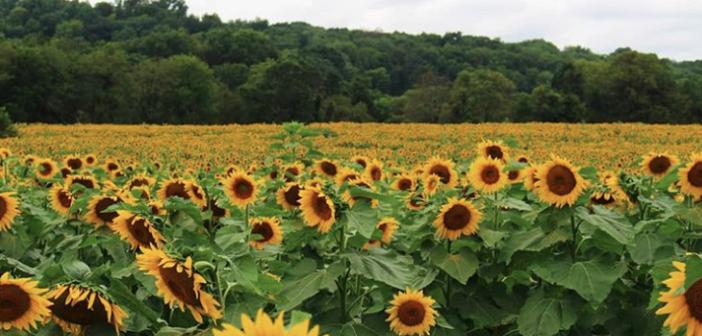 Sunflower Farmazes Around New Jersey