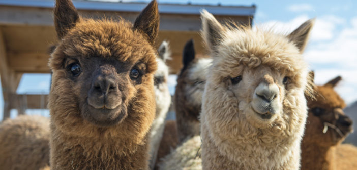 alpaca farms in nj