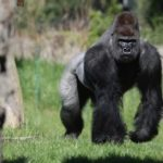 Gorilla Hits A Pregnant Woman In The Head With A Block Of Wood.