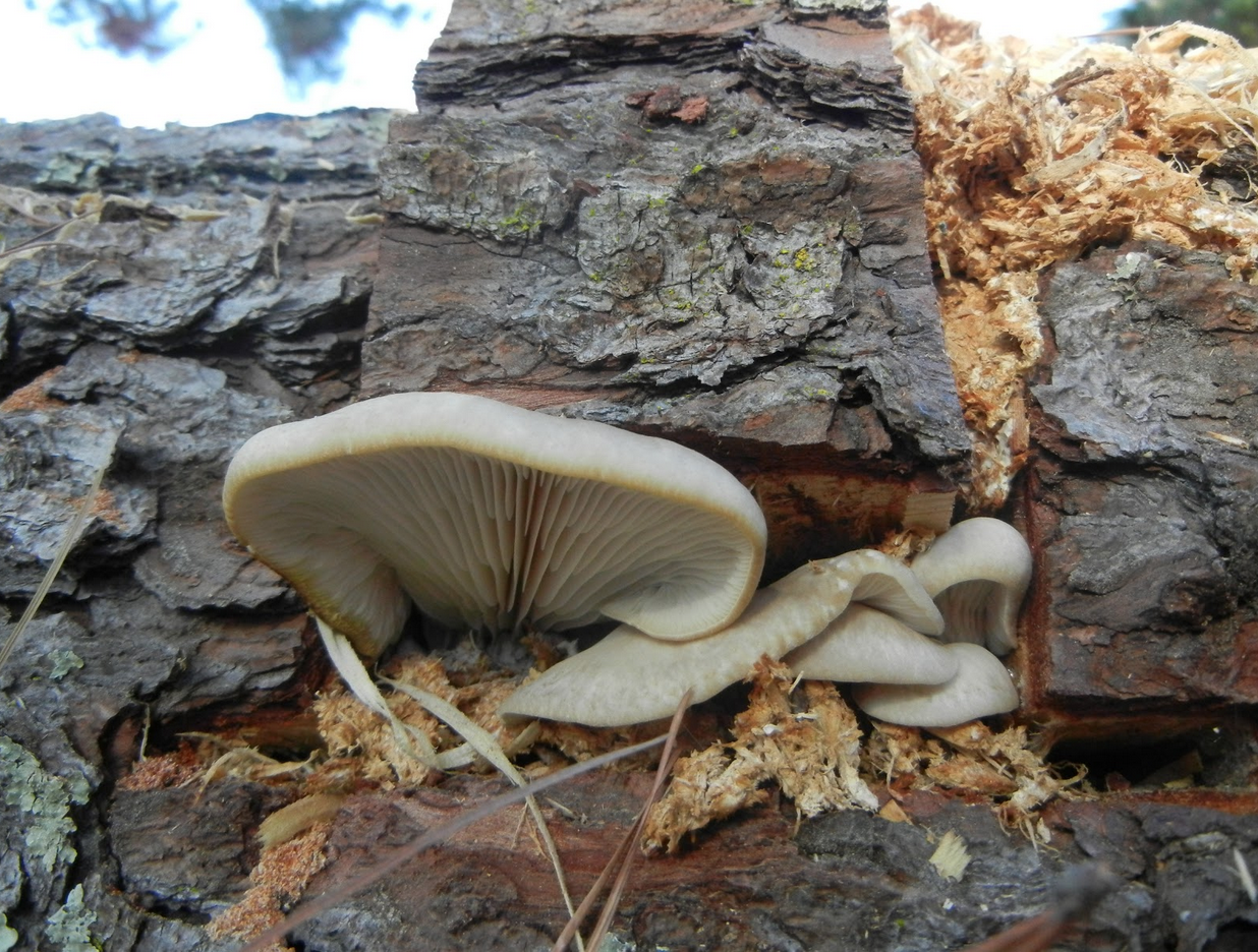 Oysters_growing