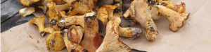 cropped-cantharellus_californius