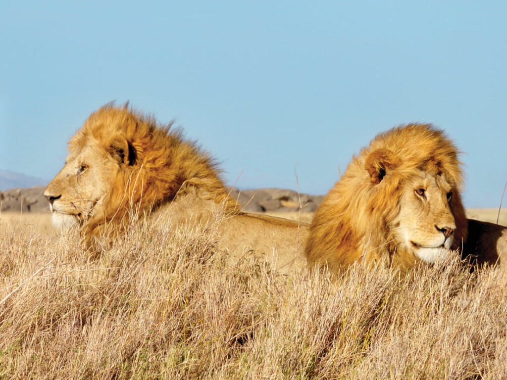 Two adult male lions rest in Serengeti National Park, Tanzania. Jerry Belant and colleagues are monitoring lions to understand movement/spatial ecology, particularly in relation to developing accurate techniques to estimate lion abundance.