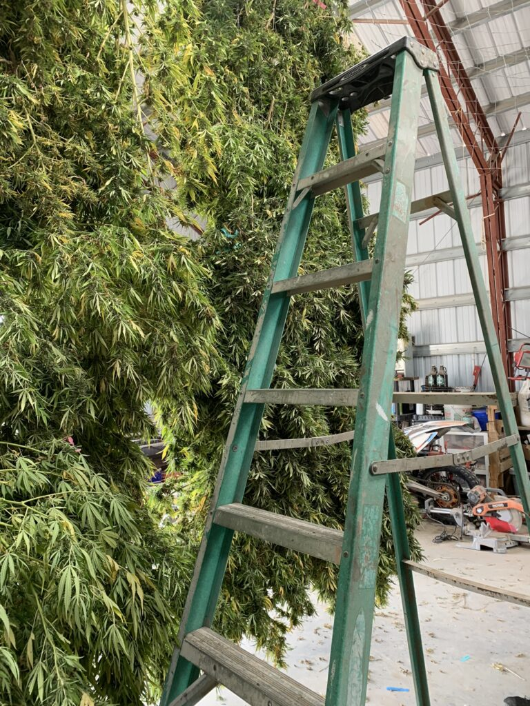 Many pounds of dark green hemp, hanging from netting in a barn on a farm. A green ladder sits in front.