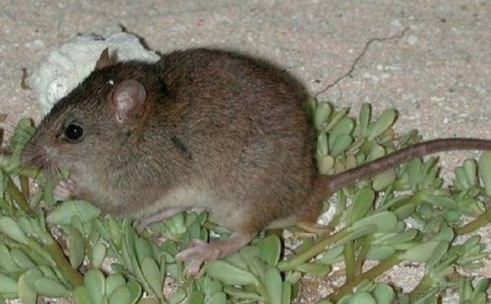 Issue 191: 2019 02 28: Melomys Rubicola Beginning of the end?