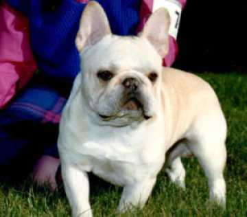 Akc French Bulldog Breeders Smokey Valley Kennel Since 1976