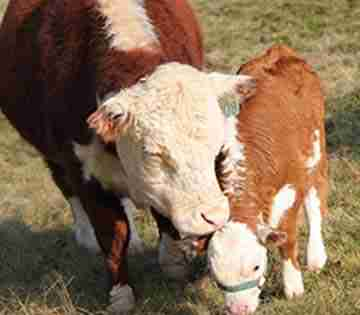 Miniature Poled Hereford Cattle