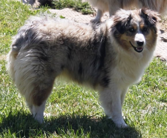Toy Miniature Australian Shepherd Puppies For Sale Smokey