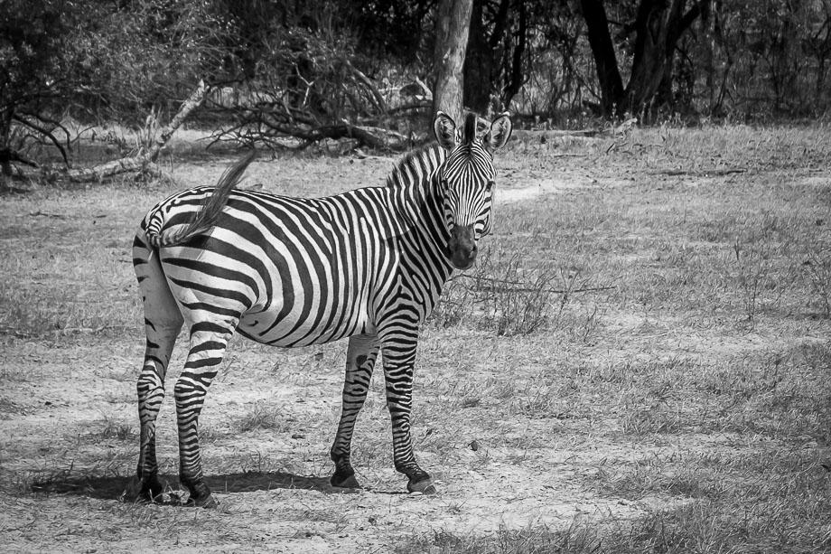 Livingstone Zebra